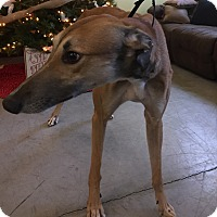 Greyhound Dog for adoption in Swanzey, New Hampshire - Rusty