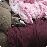 Dachshund Mix Dog for adoption in Charlotte, North Carolina - Gingerbread