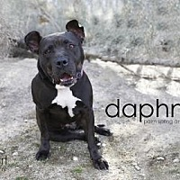 American Staffordshire Terrier Mix Dog for adoption in Palm Springs, California - Daphne