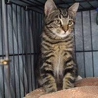 Domestic Shorthair Kitten for adoption in West Palm Beach, Florida - Nugget