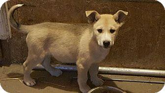 Husky/Labrador Retriever Mix Puppy for adoption in Liberty Center, Ohio - Pecos