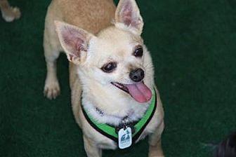 Chihuahua Mix Dog for adoption in Colorado Springs, Colorado - Kimberly