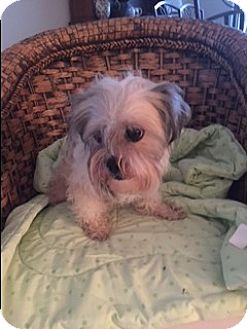 Maltese/Schnauzer (Miniature) Mix Dog for adoption in Boynton Beach, Florida - Samantha(Samy)