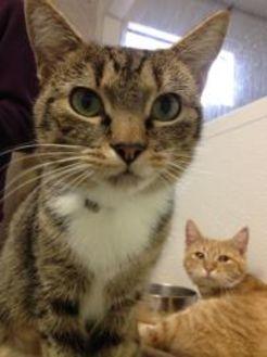 Domestic Shorthair/Domestic Shorthair Mix Cat for adoption in Greensboro, North Carolina - Rusty
