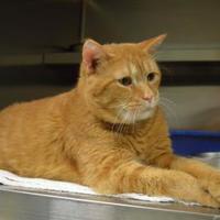 Adopt A Pet :: Fennec - Houghton, MI