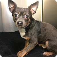 Adopt A Pet :: Miki - Oak Ridge, NJ