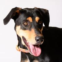 Adopt A Pet :: Gomer - Georgetown, TX