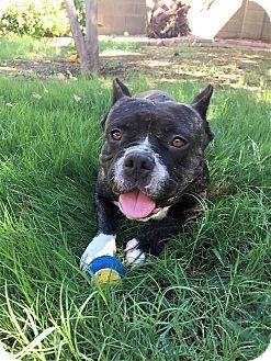 American Staffordshire Terrier/English Bulldog Mix Dog for adoption in Chandler, Arizona - Tonka
