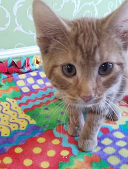 Domestic Shorthair Kitten for adoption in Red Wing, Minnesota - Aloe