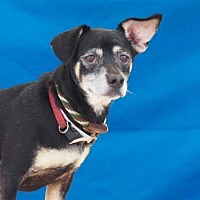Adopt A Pet :: CLOVER - Pasadena, CA