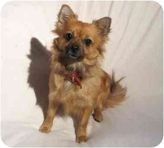 Pomeranian Mix Dog for adoption in Montreal, Quebec - Maggie
