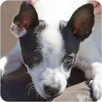 Rat Terrier Mix Puppy for adoption in Berkeley, California - Piper