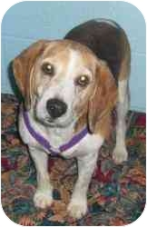 Beagle Mix Dog for adoption in Honesdale, Pennsylvania - Joepa