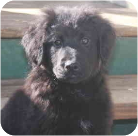 Flat-Coated Retriever/Shepherd (Unknown Type) Mix Puppy for adoption in Derry, New Hampshire - Captain Crunch