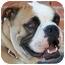 Photo 2 - Boxer/English Bulldog Mix Dog for adoption in Los Angeles, California - Barney