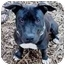 Photo 1 - American Pit Bull Terrier Mix Puppy for adoption in Berkeley, California - Chiona
