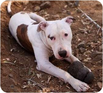 Bull Terrier/Bullmastiff Mix Dog for adoption in Studio City, California - BLUENOSE