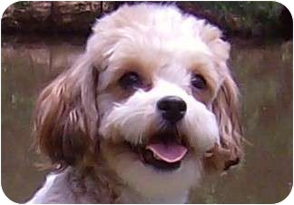 Bichon Frise/Shih Tzu Mix Dog for adoption in Bethel Springs, Tennessee - Fuzzy