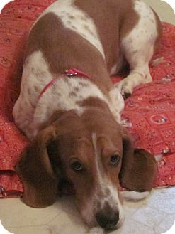 Basset Hound Dog for adoption in Barrington, Illinois - Roger Dodger