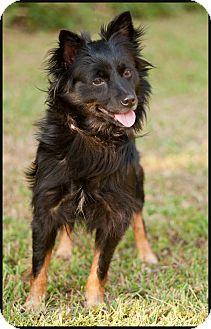Schipperke Mix Dog for adoption in Westfield, New York - Hollie
