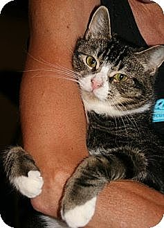 Domestic Shorthair Cat for adoption in Centreville, Virginia - Belvedere