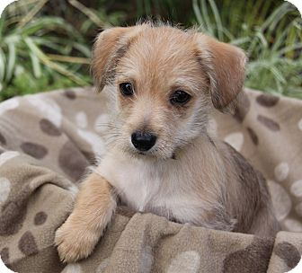 Terrier (Unknown Type, Small) Mix Puppy for adoption in Newport Beach, California - JEEVES