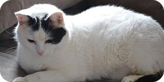 Domestic Shorthair Cat for adoption in Belvidere, Illinois - Tamora