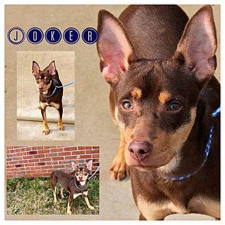 Miniature Pinscher/Manchester Terrier Mix Dog for adoption in Garden City, Michigan - Joker