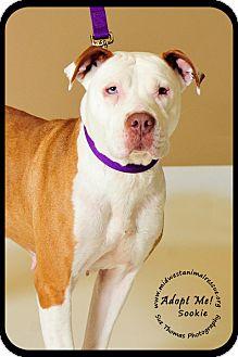 American Staffordshire Terrier Dog for adoption in Minneapolis, Minnesota - Sookie