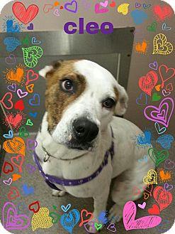 Boxer Mix Dog for adoption in Louisburg, North Carolina - Cleo