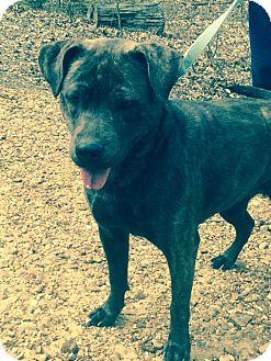 Blue Heeler Mix Dog for adoption in Hatifeld, Pennsylvania - Versace