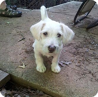 Terrier (Unknown Type, Small) Mix Puppy for adoption in North Brunswick, New Jersey - Marty