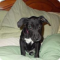 Adopt A Pet :: Scarlett - Apex, NC