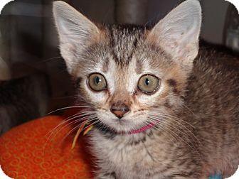 American Shorthair Kitten for adoption in Amarillo, Texas - Thumbelina