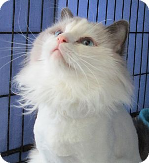 Ragdoll Cat for adoption in Pueblo West, Colorado - Baby