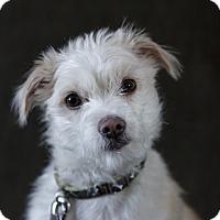 Adopt A Pet :: Lexus - Rigaud, QC