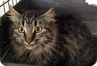 Domestic Longhair Cat for adoption in Loogootee, Indiana - Gia