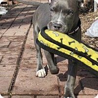 Adopt A Pet :: Little Blue - Cary, IL