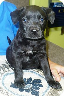 Labrador Retriever Mix Puppy for adoption in Eastpoint, Florida - Karen