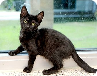 American Shorthair Cat for adoption in Aiken, South Carolina - Millicent