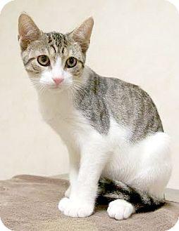 Domestic Shorthair Kitten for adoption in Montclair, New Jersey - Ranger Joe