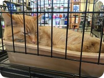 Domestic Shorthair Cat for adoption in Manchester, Connecticut - Harris