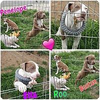 Adopt A Pet :: Penelope - Sacramento, CA