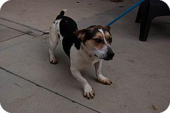 Basset Hound/Jack Russell Terrier Mix Dog for adoption in Martinsville, Indiana - Fonzi