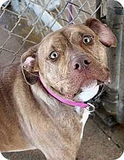 American Bulldog/Boxer Mix Dog for adoption in Fort Madison, Iowa - Envy