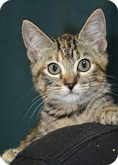 Domestic Shorthair Kitten for adoption in Ogden, Utah - Doll Face