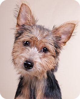 Yorkie, Yorkshire Terrier Mix Dog for adoption in Chicago, Illinois - Robin