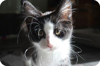 Domestic Longhair Kitten for adoption in Warren, Ohio - Harry