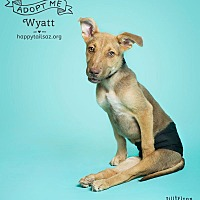 Adopt A Pet :: Wyatt - Chandler, AZ