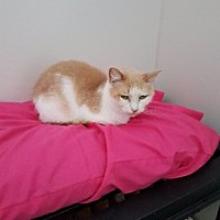 Adopt A Pet :: Peaches - Orillia, ON